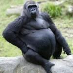 gorilla 150x150