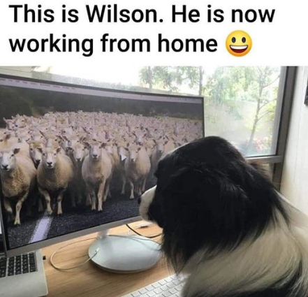 Virtual-Sheepdog-pandemic-covid19-working-from-home